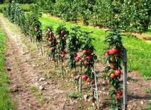 Вибір і посадка саджанців яблуні