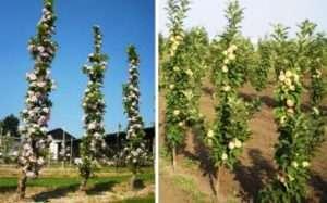 Колоновидні яблуні: посадка й догляд, обрізання і вирощування