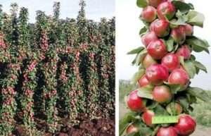 Колоновидна яблуня: посадка й догляд, сорти