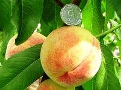 Вирощування персика