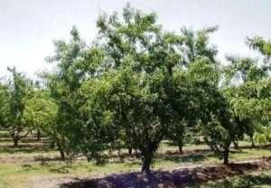 Як виростити персик?