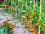 pidvjazka-i-pasynkovannja-pomidoriv