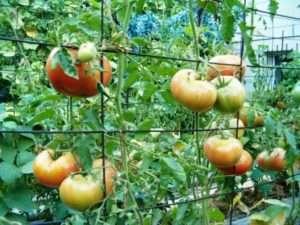 підв'язка томатів