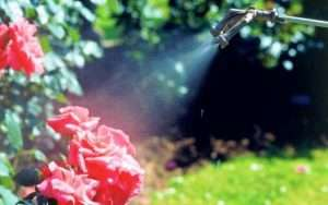обприскування кущів троянд