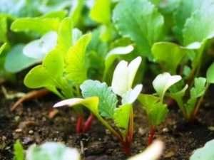 Як садити редиску у відкритий ґрунт