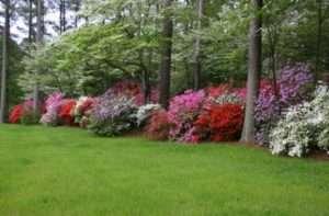 Рододендрон: догляд у відкритому ґрунті