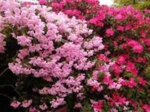 Рододендрон у власному саду