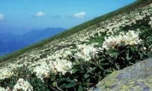 рододендрон кавказький