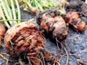 Шкідники моркви