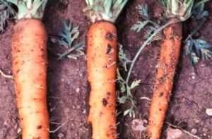 Шкідники моркви і боротьба з ними