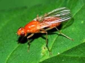 Морквяна муха, як вид шкідника моркви