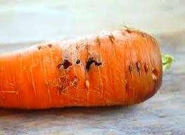 шкідники моркви і боротьба