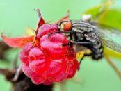 шкідники та хвороби малини