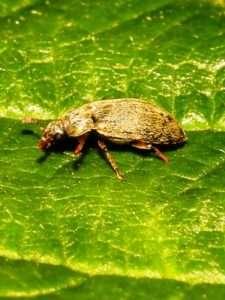 Малиновий жук2