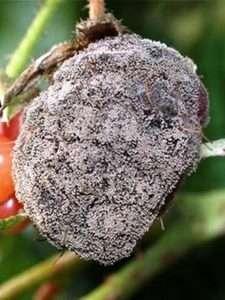 Вертиціллезний вілт - шкідник малини