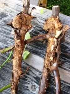 Захворювання коренів малини бактеріальний рак