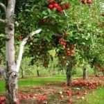 Обрізка старих яблунь навесні та восени