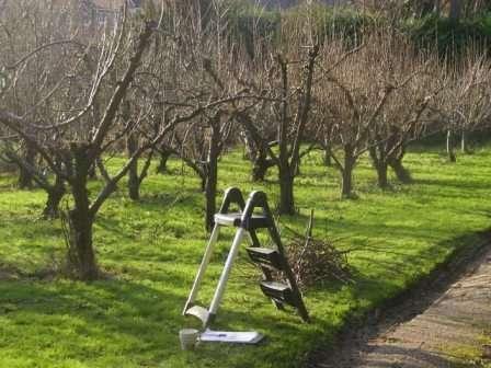 Як правильно обрізати старі яблуні?