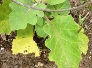 Жовте листя у баклажанів