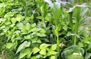 суміщені посадки овочей
