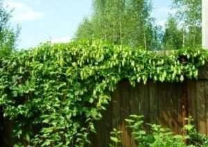 Плануємо посадку рослин у парканів