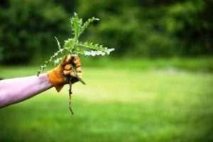 газонна трава догляд