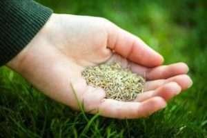 як вибрати Насіння газонної трави