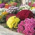 Як посадити хризантему кущову садову багаторічну. Фото