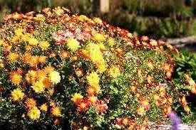 Хризантема кущова - вирощування, догляд