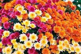 Квітка хризантема – посадка та догляд за хризантемою