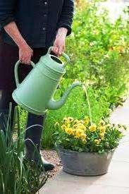 хризантеми низькорослі кущові