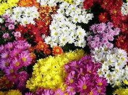 Як правильно доглядати за хризантемою