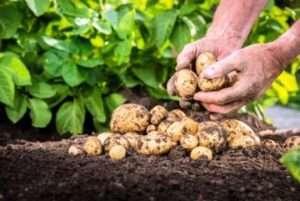 Коли копати картоплю