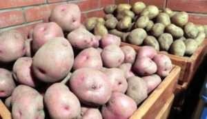як правильно збирати урожай картоплі