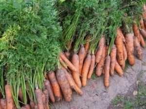 Коли збирати моркву