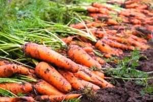 Морква: строки збирання для зберігання