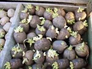 Умови для зберігання картоплі на посадку