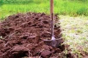 Правильна посадка картоплі для отримання хорошого врожаю