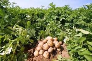 Час посадки картоплі