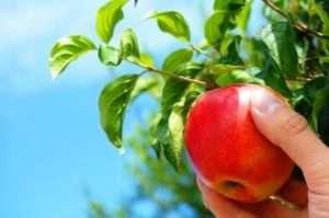 Кращі сорти для того, щоб зберегти яблука взимку