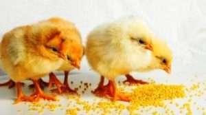 Чим годувати курчат м'ясних і яєчних порід в домашніх умовах