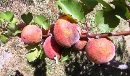 Хвороби абрикоса