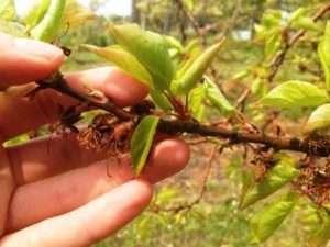 Хвороби та шкідники абрикоса