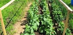 Терміни посадка розсади огірків у 2019 році