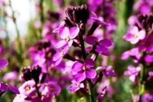 Матіола: вирощування і догляд