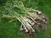 Що можна садити після цибулі та часнику