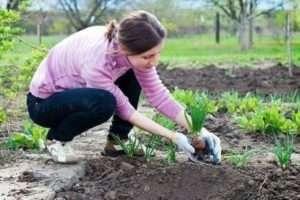 Посадка овочів після цибулі