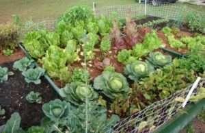 Які овочі посадити після цибулі та часника на ділянці