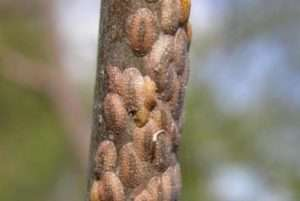 Щитівка, як шкідник смородини