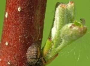 Щитівка смородини